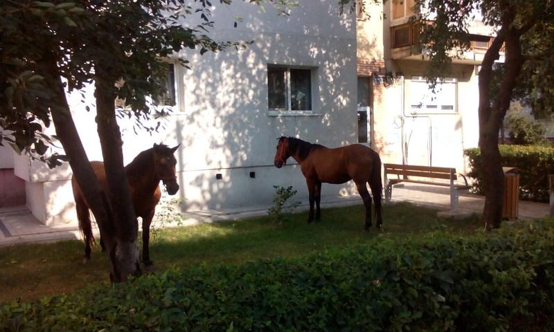 1 - bacaul vorbeste cai la pascut in fata blocului (2)